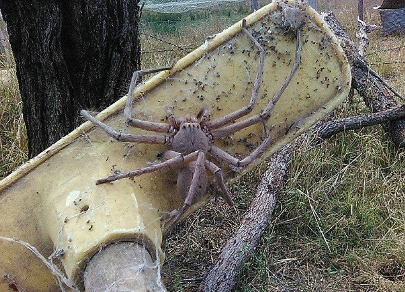 Biggest Spider Ever Recorded Freaks Out The Entire World ...
