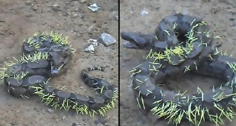 Snake Eats Porcupine